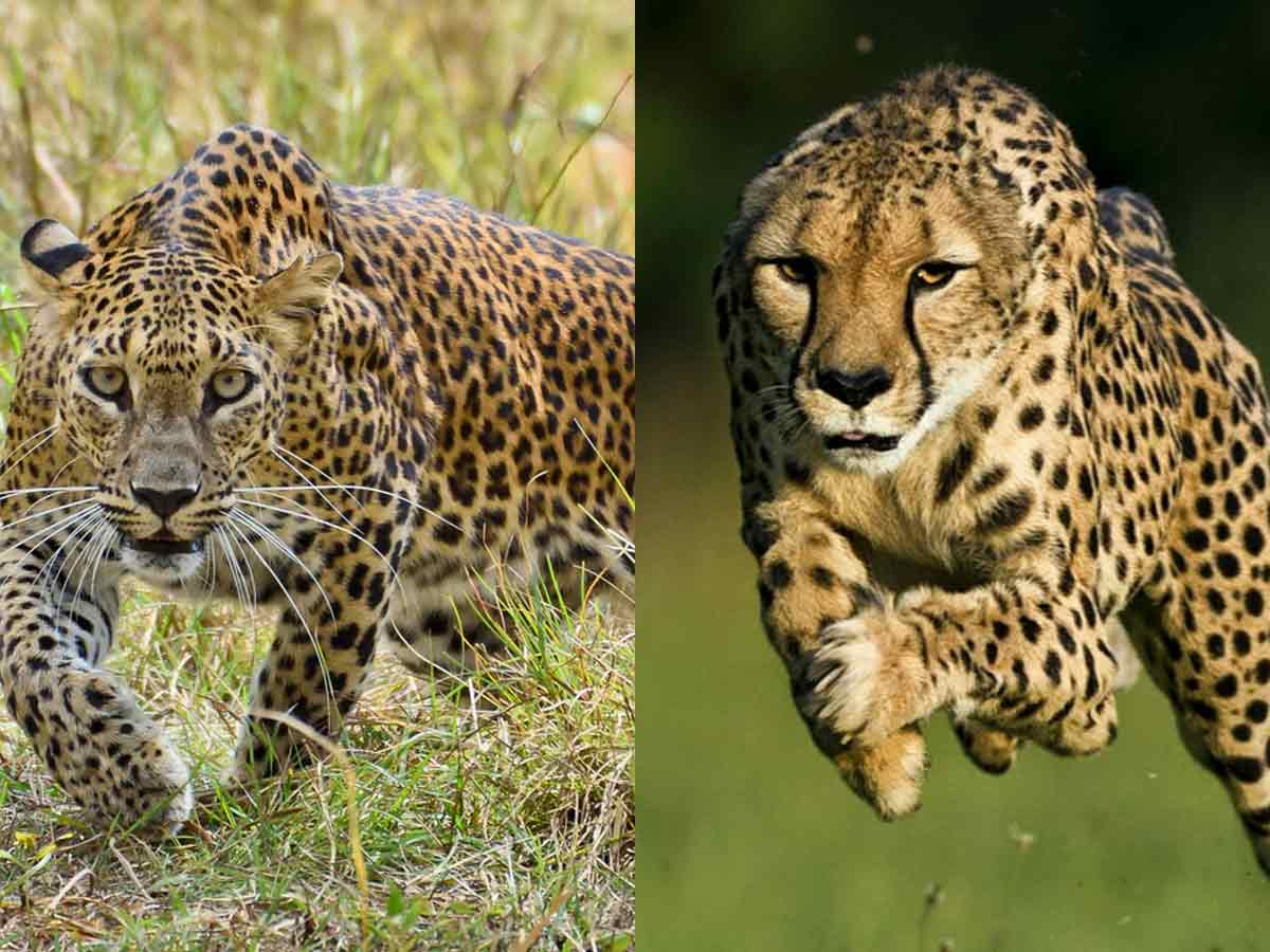 face of cheetah and leopard